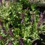 Salvia nemorosa - šalvěj hajní