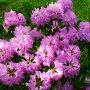 Rhododendron - různé barvy a velikosti