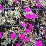 Dianthus gratianopolitanus - hvozdík sivý