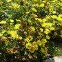 Inula ensifolia - oman mečolistý