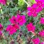 Dianthus gratianopolitanus ´Pink Jewel´ - hvozdík sivý