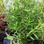 Rosmarinus officinalis - rozmarýn lékařský