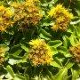 Sedum kamtschaticum var. ellacombianum - rozchodník kamtčatský