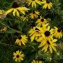 Rudbeckia fulgida 'Goldsturm' - třapatka zářivá