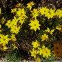 Coreopsis verticillata 'Grandiflora' - krásnoočko přeslenité velkokvěté