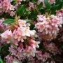 Kolkwitzia amabilis - kolkvície nádherná