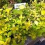 Origanum vulgare ´Aureum´ - dobromysl obecná