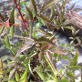"Sambucus nigra ""Black Beauty"" - bez černý"