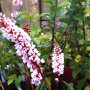Persicaria affinis ´Darjeeling Red´ - rdesno