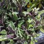Salvia officinalis - šalvěj lékařská