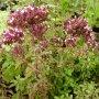 Origanum vulgare - dobromysl obecná