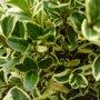 Buxus sempervirens ''Variegata'' - zimostáz vždyzelený