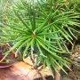 Sciadopitys verticillata - pajehličník přeslenitý